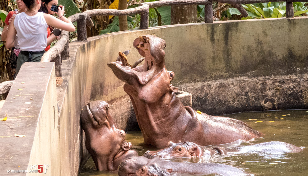 Feeding hippo in Chiang Mai Zoo